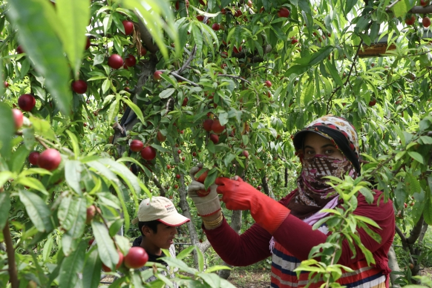 Şeftalide hasat başladı, çiftçi fiyatlardan yakındı