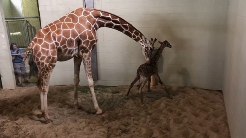 Hayvanat bahçesinin yeni üyesi ilk adımlarını attı