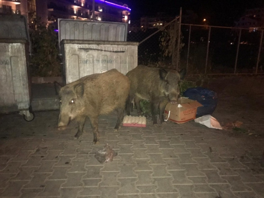 Yaban domuzları plajda yiyecek arıyor