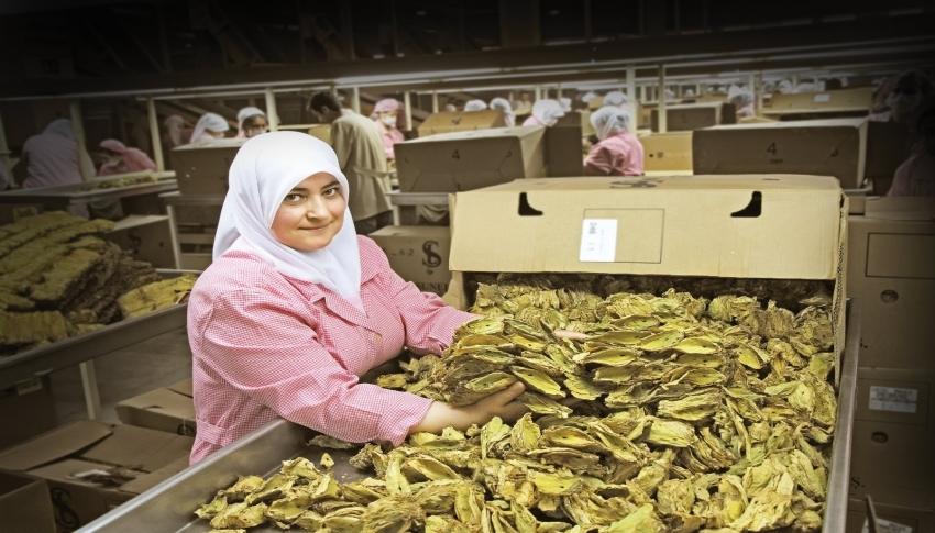 Virginia tütünüyle ihracatta sürdürülebilirlik sağlanacak
