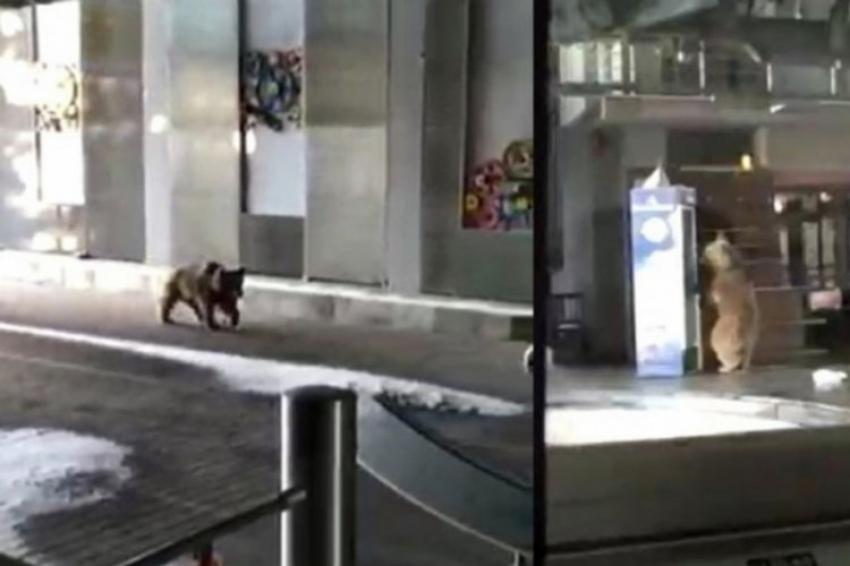 Bursa'da teleferik istasyonuna ayı girdi!