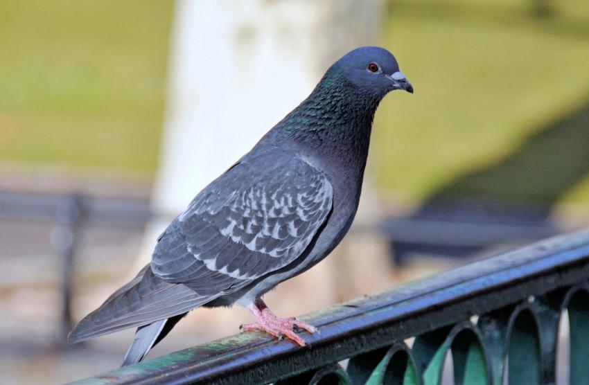 Bursa'da 35 bin TL'lik  güvercinler çalındı
