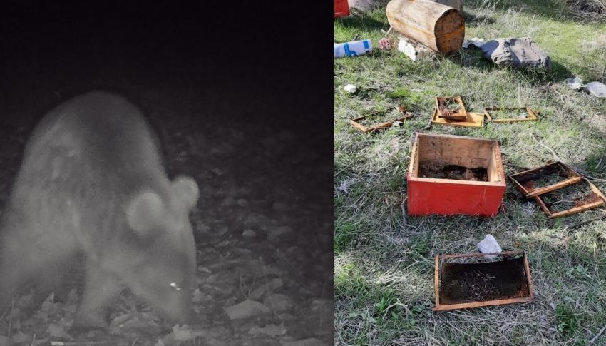 Kış uykusundan uyanan ayılar arı kovanlarını parçaladı