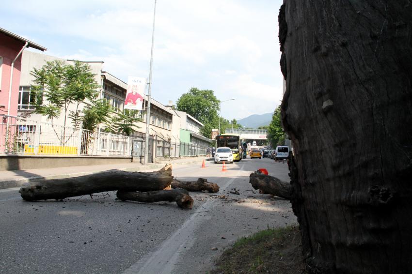 Bursa'da asırlık çınar  faciaya neden oluyordu!