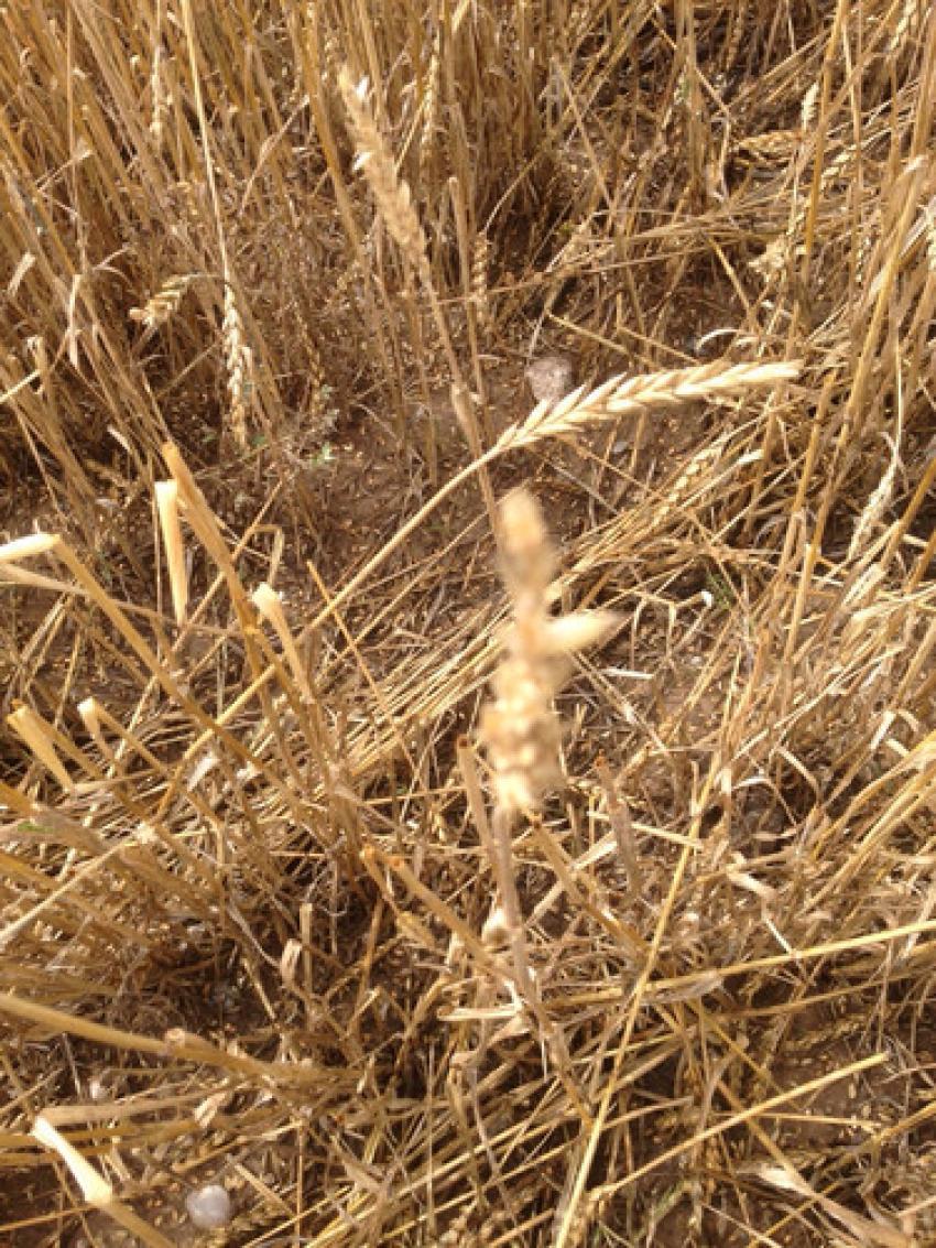 Ekili tarım alanlarında yüzde 100 oranında zarar