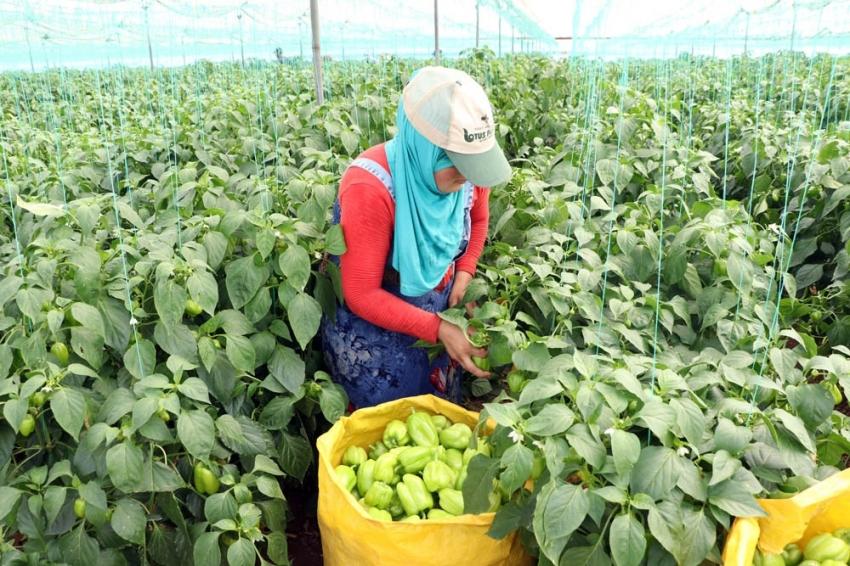 Çiftçiler biber fiyatlarından dertli