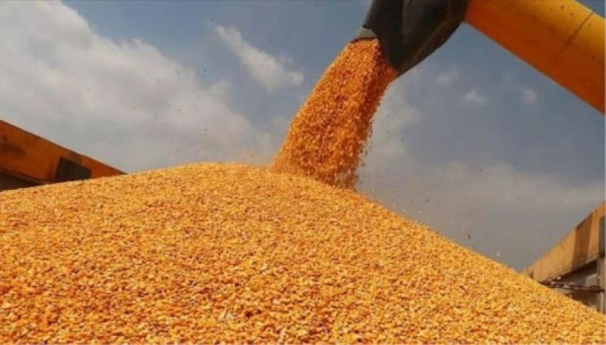 Kozan'da mısır hasat sezonu başladı