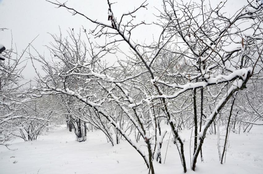 Fındığı önce don vurdu, şimdi de kar