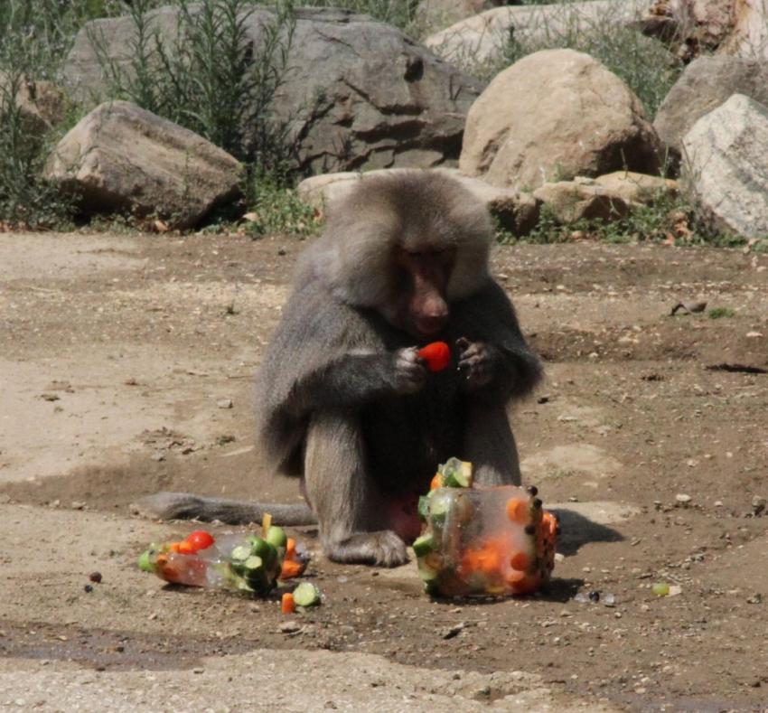 Bursa Zoo Park'ta buz gibi karpuz keyfi (ÖZEL HABER)