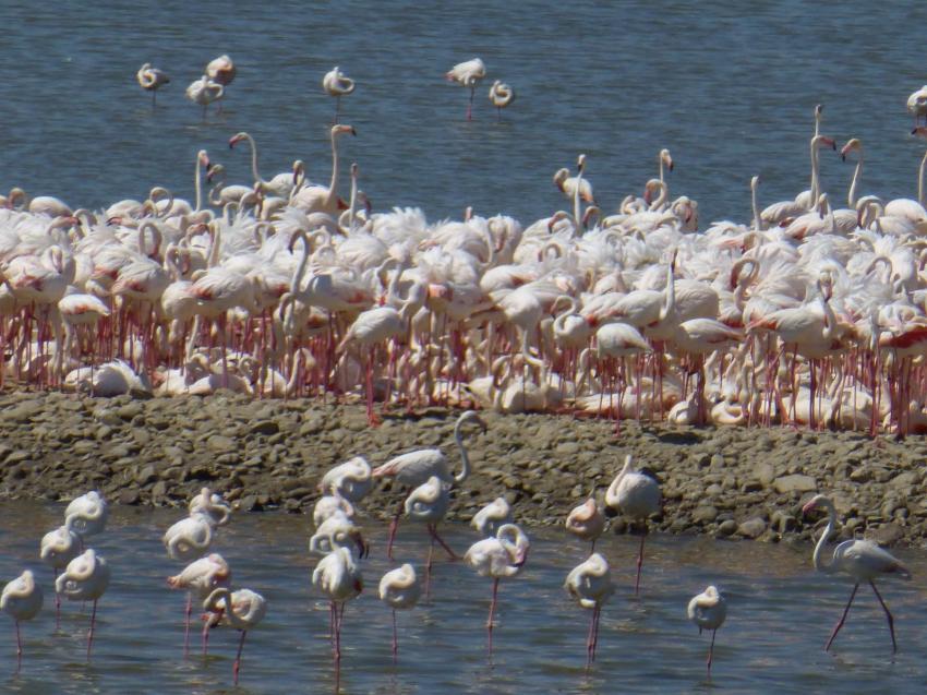 İzmir Kuşcenneti'nde flamingo bereketi