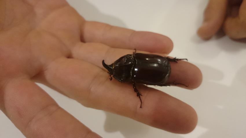 Bursa'da bir Gergedan böceği daha!