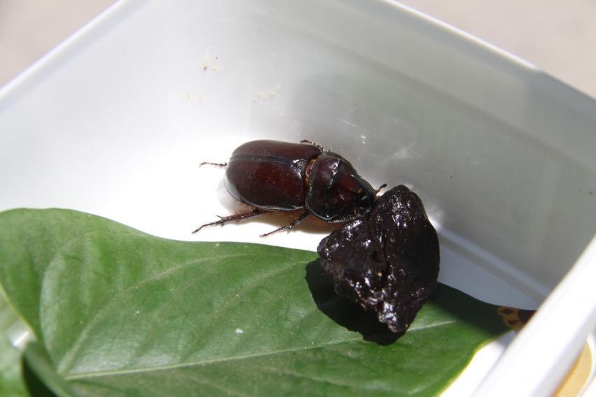 Gergedan böcekleri için uyarılar kesilmiyor