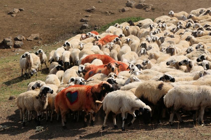 """""""Koç katımı"""" geleneği Tunceli yaylalarında yaşatılıyor"""