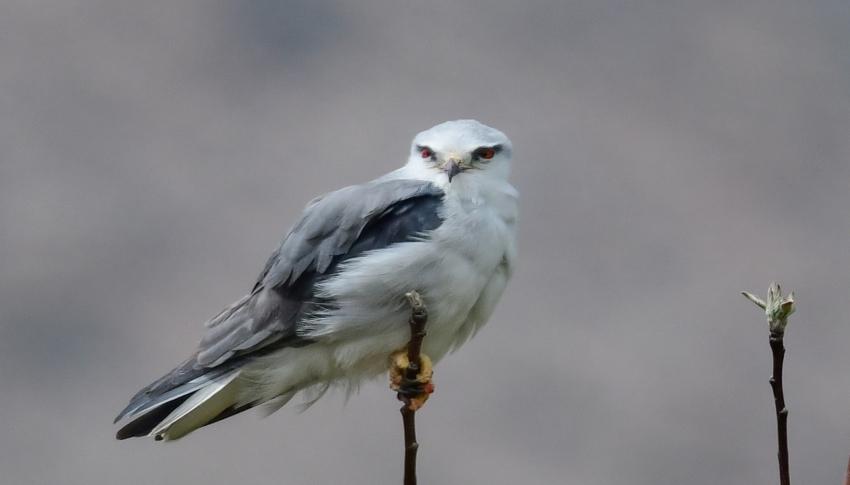 Akçaylak kuşu Van'da ilk kez görüntülendi