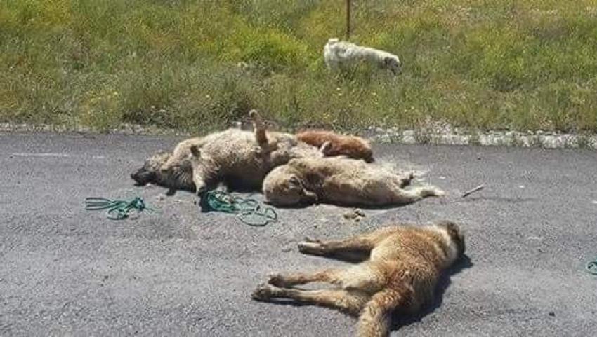 Kütahya'da köpek katliamı!