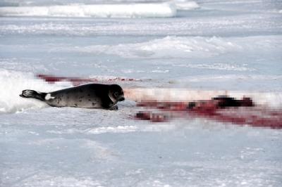 Kanada'da her yıl 300 binden fazla fok katlediliyor