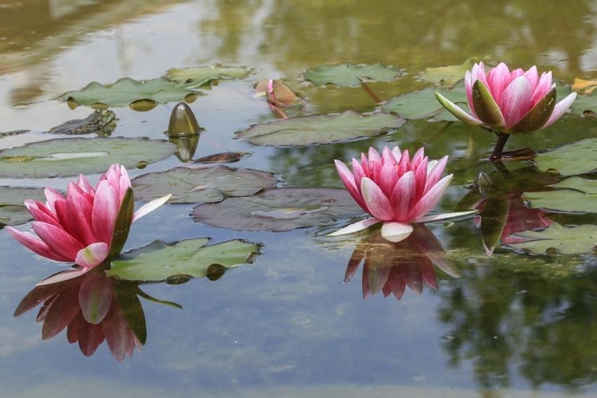 Nilüferler çiçek açtı