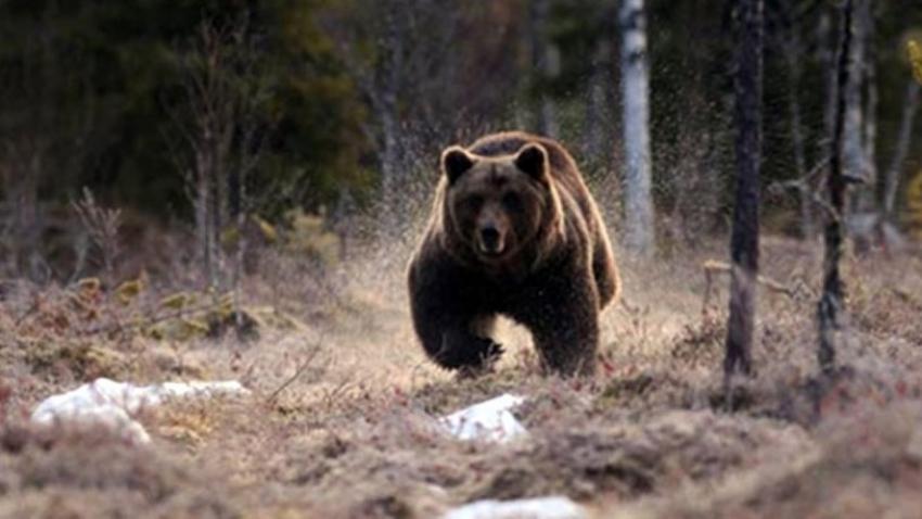 Köpeklerini gezdirmeye çıkaran kadını ayılar yedi!