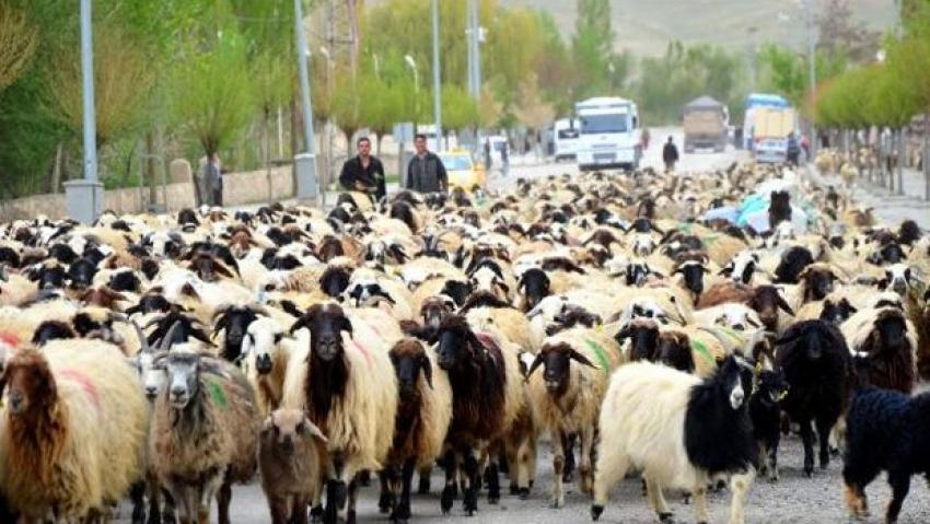 Büyükşehir yasası köylerde hayvancılığı yasaklıyor