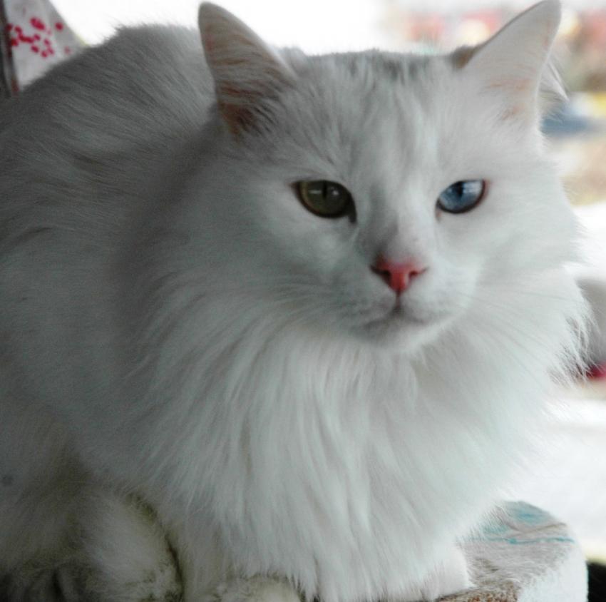 Van kedilerinde doğurganlık artırılıyor