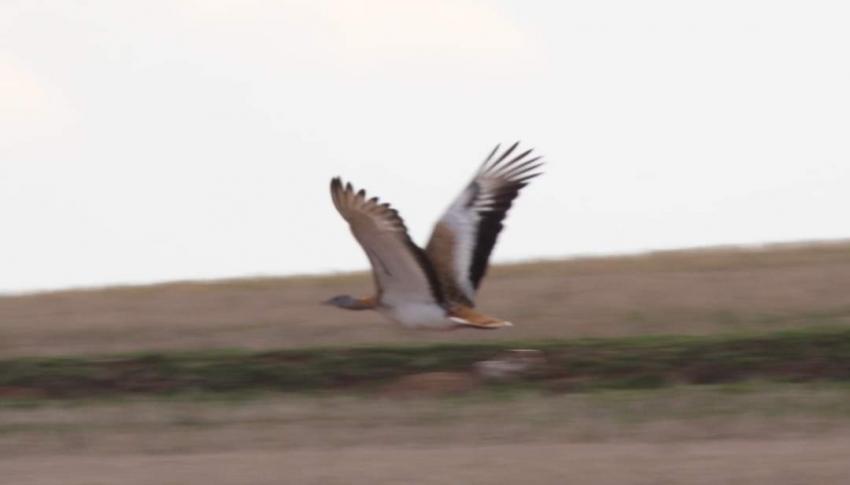 Nesli tehlike altındaki Toyu Kuşu görüntülendi