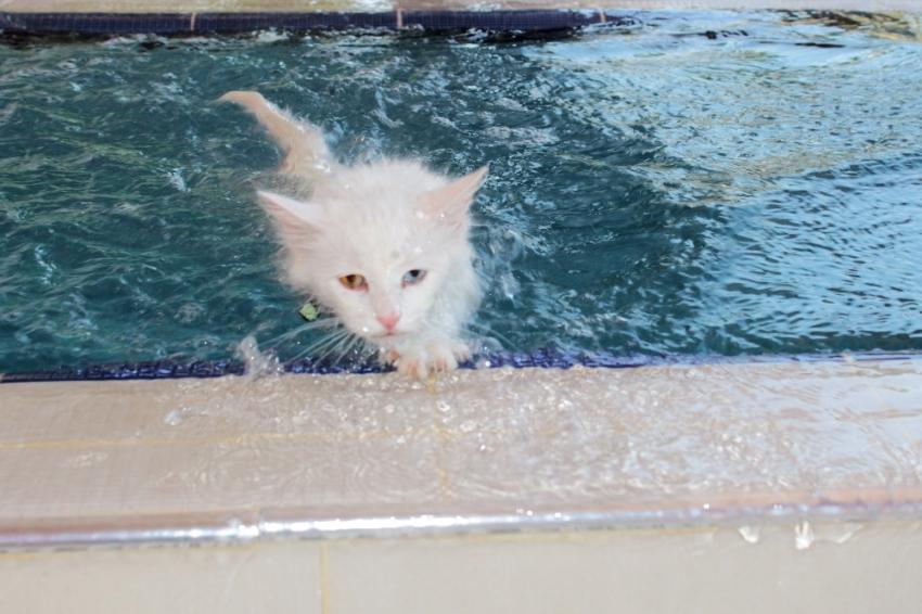 Van kedilerine yüzme eğitimi