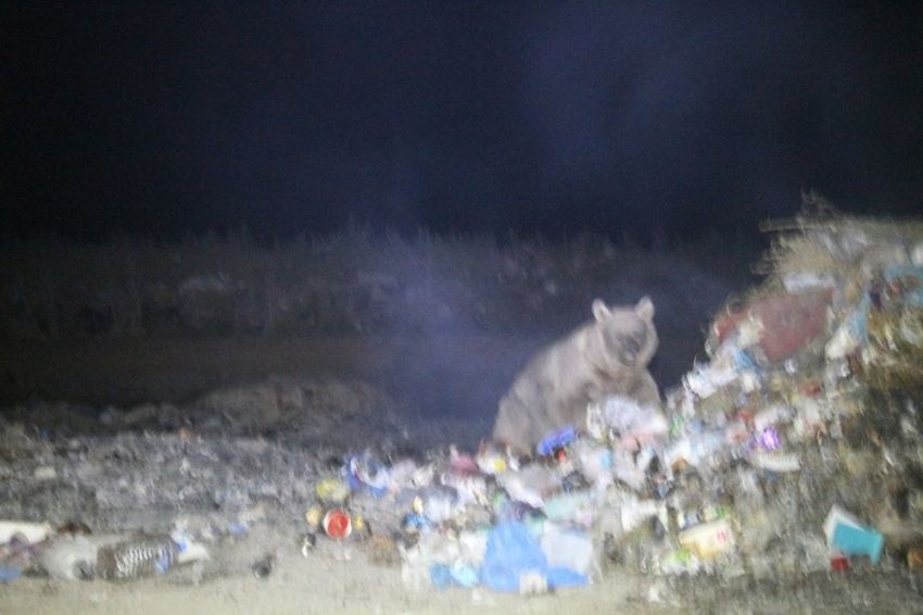 Boz ayılar yiyecek ararken görüntülendi