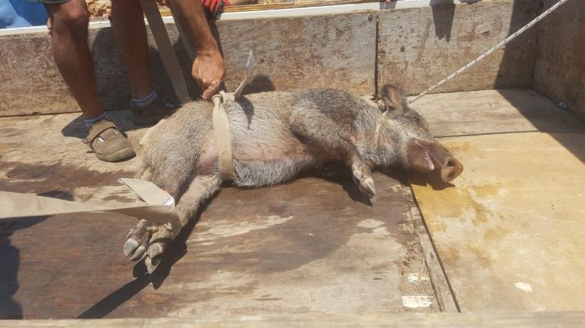 Yaralı domuz için vatandaşlar seferber oldu