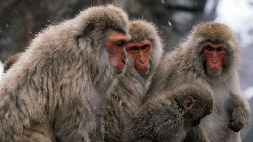 Herkes o maymunları arıyor