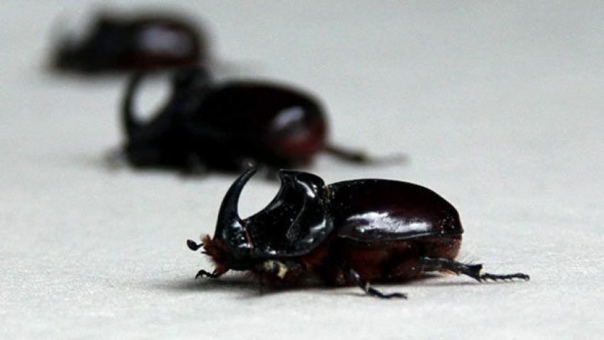 Gergedan böceğinin maddi değeri var mı?