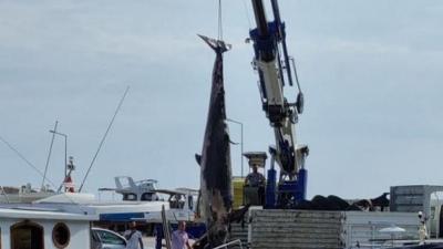 Antalya'da yalancı katil balina ölüsü kıyıya vurdu