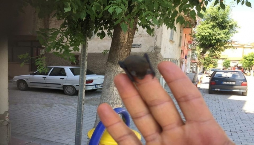 Çatıdaki yuvasından düşen yarasa yavrusu tekrar yuvasına bırakıldı