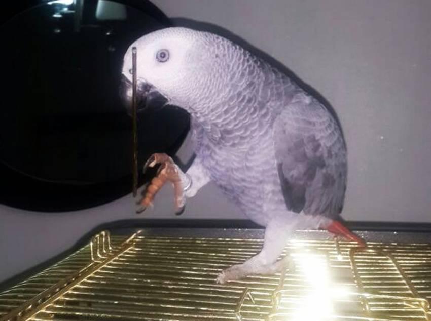 Bu papağanı bulanan ödül var