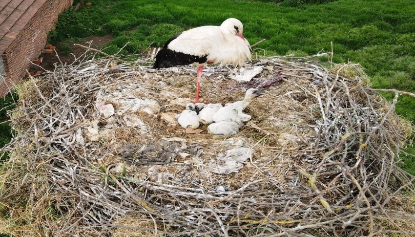 Yavru leylekler yumurtadan çıktı