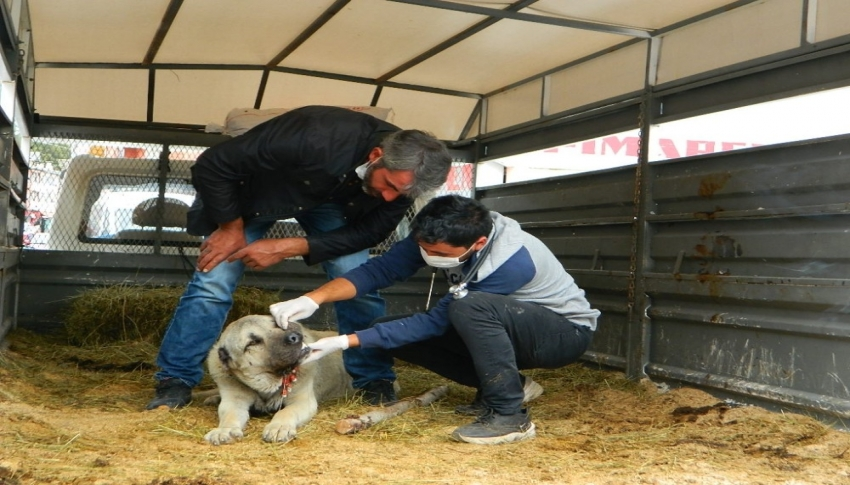 Ayının yaraladığı köpek kurtarılamadı