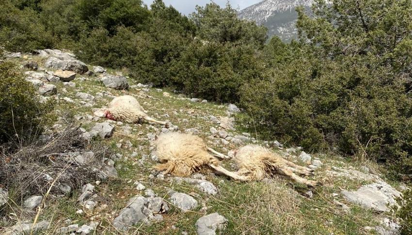 Sürüye saldıran kurt 13 koyunu telef etti