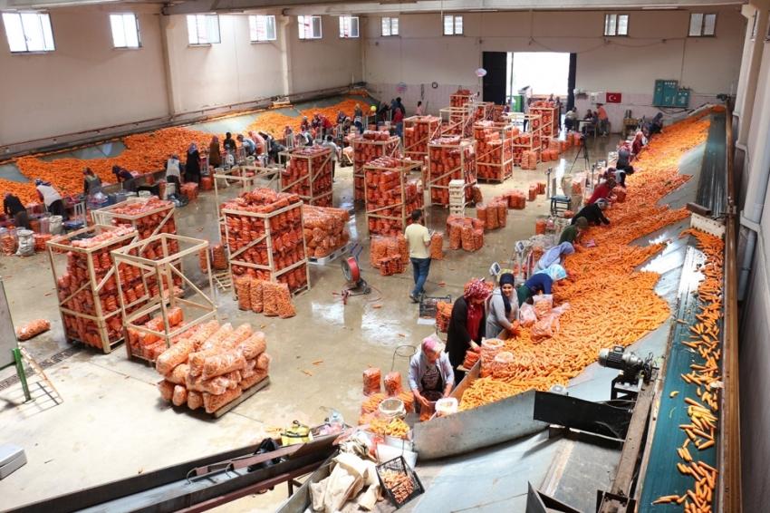 Havucun merkezi Konya'da hasat yapılıyor