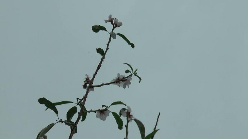 Badem ağaçları Aralık ayında çiçek açtı