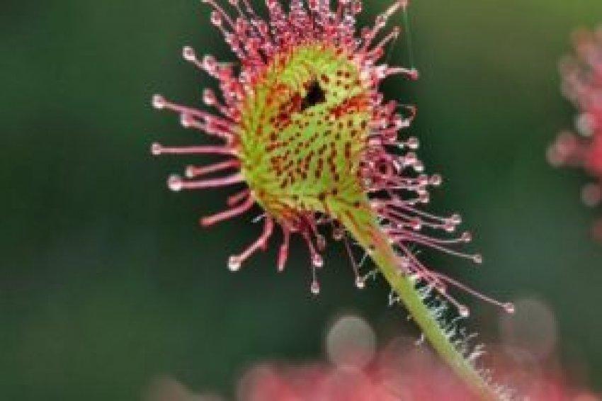Böcek yiyen bitki doku onaracak