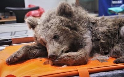 Araç çarpması sonucu bacakları kırılan yavru ayı ameliyata alındı