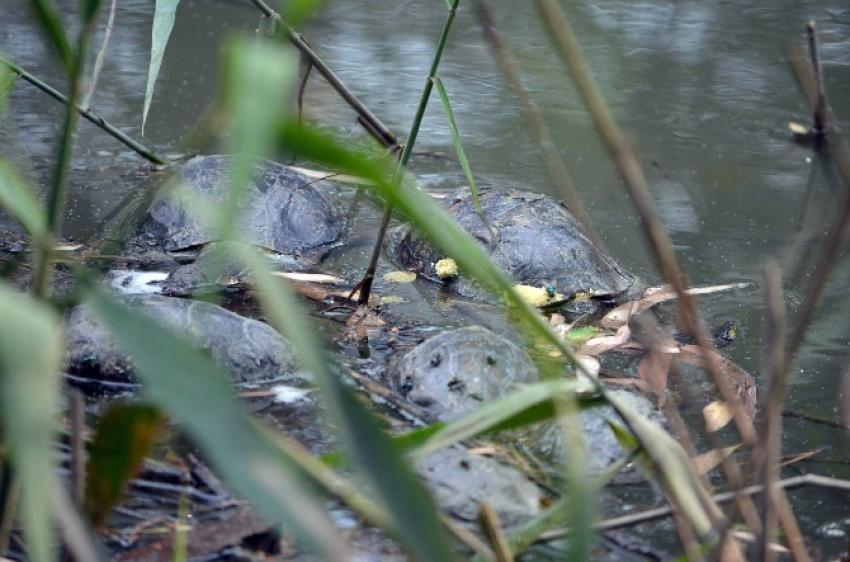 Su kaplumbağaları ölüyor