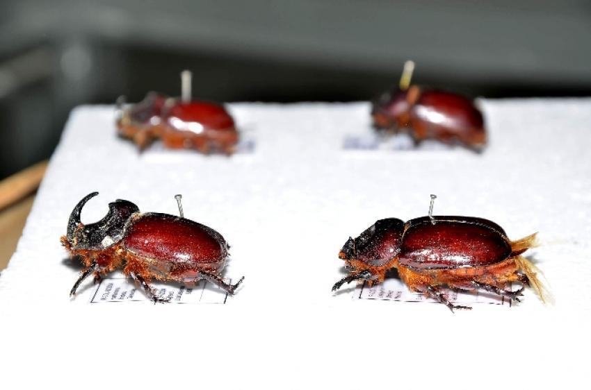 Gergedan böceğini uzmanları anlattı