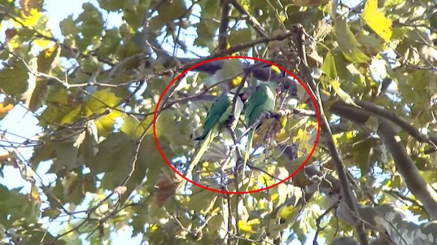 Türkiye kentlerinde papağan sayısı giderek artıyor