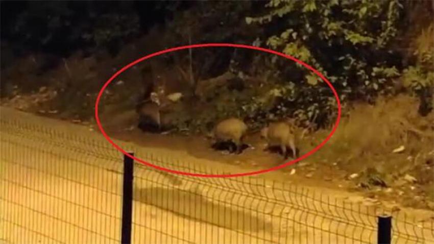 Mudanya'da aç kalan domuzlar kent merkezine indi