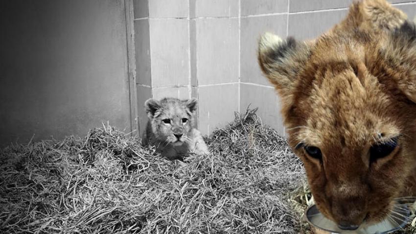 İzmir'de yavru aslan ele geçirildi