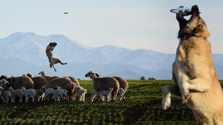 Sosyal medya koyunları koruyan kangal köpeğini konuşuyor