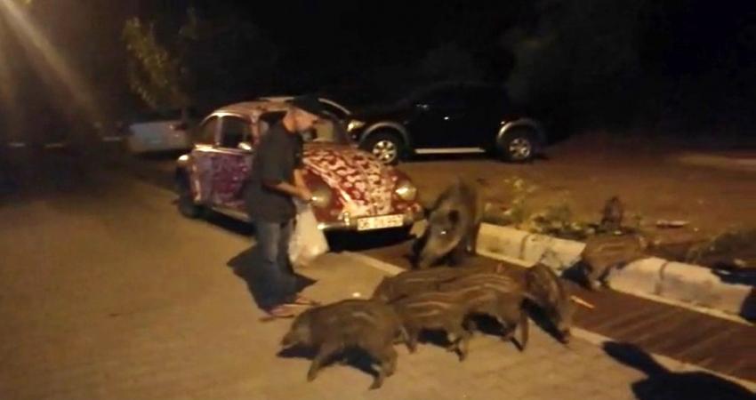 Aç kalan domuzlar şehre indi: Elleriyle besliyorlar