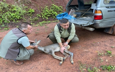 Köpeklerin saldırısına uğrayan karacayı köylüler kurtardı