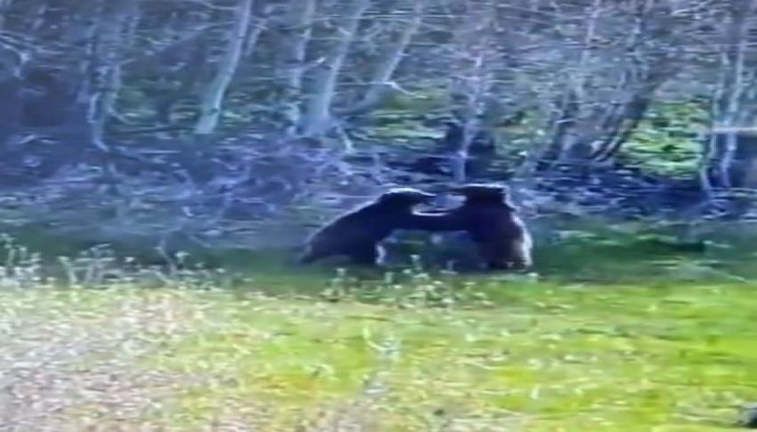 Ayıların güreşi kameralara takıldı