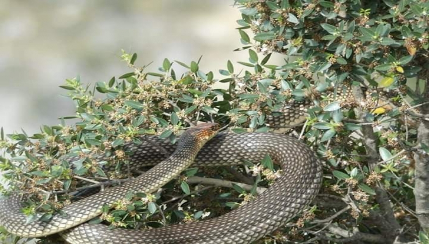 Çiftçi dostu yılan
